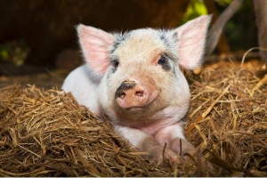 Scottish scientists breed ASF resistant pigs