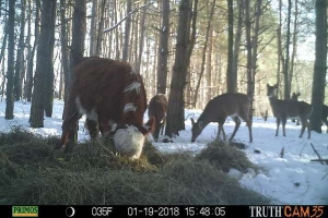 The cow ran away from the farm and lived in the forest for 8 months with a herd of deer