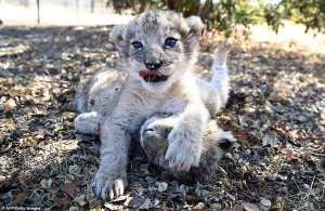 "The world's first ""out of the tube"" lion cubs were born in South Africa"