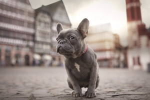 It was found that French bulldogs have susceptibility to dermatitis and infectious diseases
