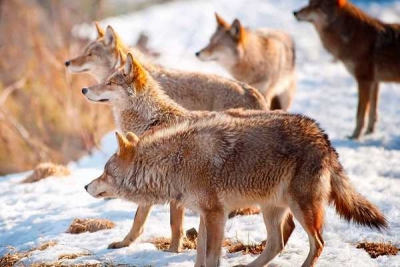Wolves are more tolerant than dogs